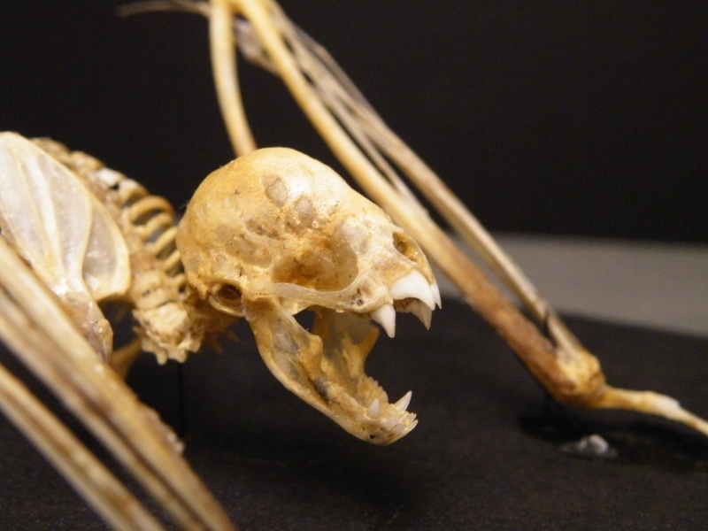 Vampire Bat Skeleton Face